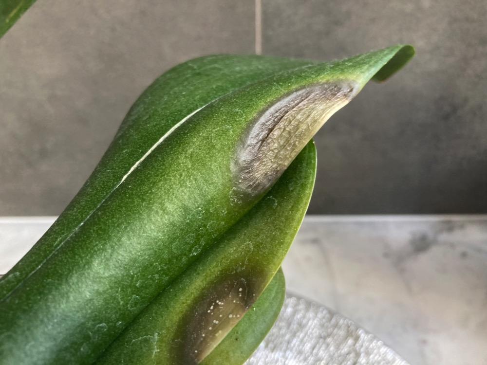 Infekcja bakteryjna grzybicza liści storczyka