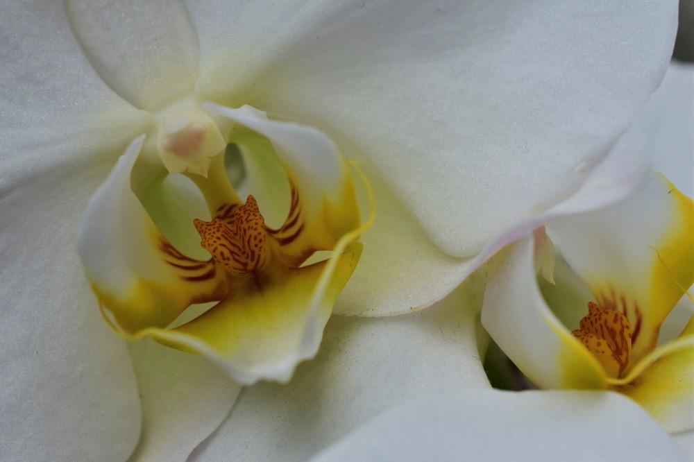 Biały phalenopsis
