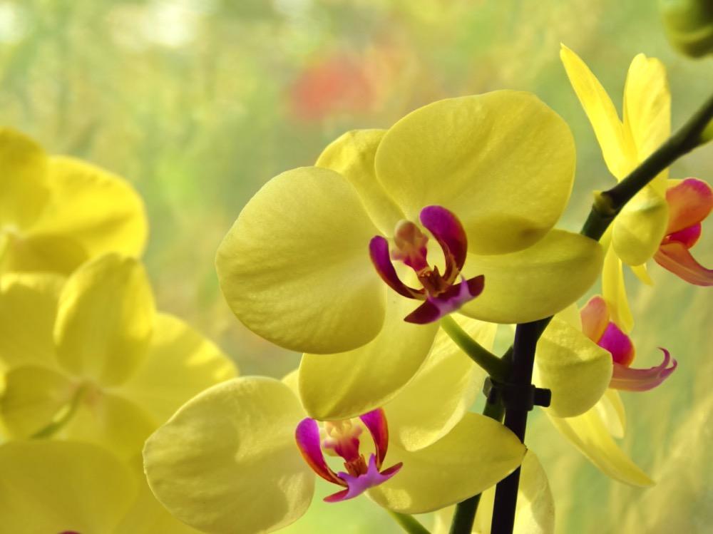Żółty Phalenopsis